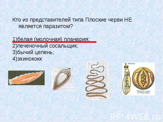 Кто из представителей типа Плоские черви НЕ является паразитом? 1)белая (молочная) планария; 2)печеночный сосальщик; 3)бычий цепень; 4)эхинококк