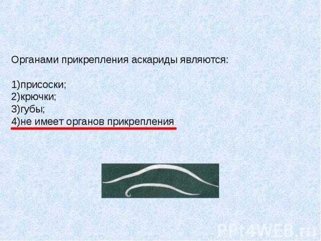 Органами прикрепления аскариды являются: 1)присоски; 2)крючки; 3)губы; 4)не имеет органов прикрепления