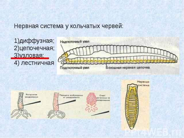 Нервная система у кольчатых червей: 1)диффузная; 2)цепочечная; 3)узловая; 4) лестничная
