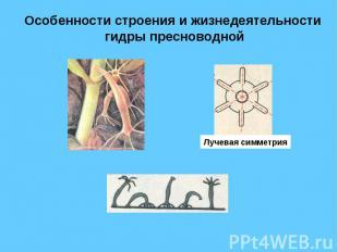 Особенности строения и жизнедеятельности гидры пресноводной Лучевая симметрия