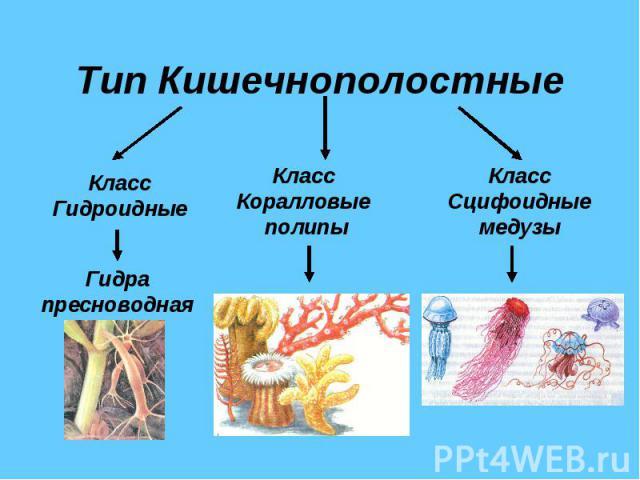 Скачать презентацию по биологии класс кишечнополостные