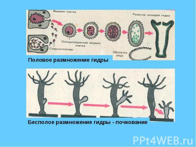 Половое размножение гидры Бесполое размножение гидры - почкование