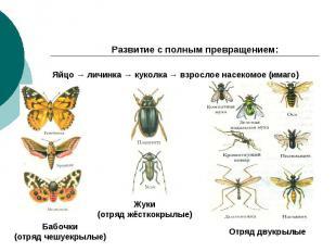 Развитие с полным превращением: Яйцо → личинка → куколка → взрослое насекомое (и