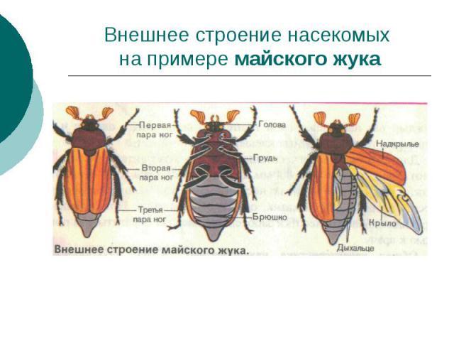 Внешнее строение насекомых на примере майского жука