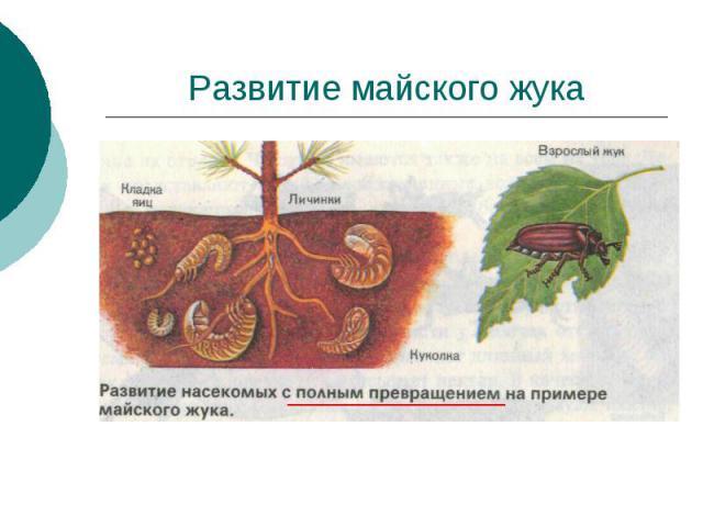 Развитие майского жука