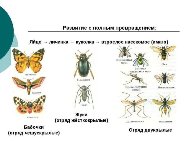 Развитие с полным превращением: Яйцо → личинка → куколка → взрослое насекомое (имаго) Бабочки (отряд чешуекрылые) Жуки (отряд жёсткокрылые) Отряд двукрылые