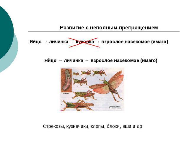 Развитие с неполным превращением Яйцо → личинка → куколка → взрослое насекомое (имаго) Яйцо → личинка → взрослое насекомое (имаго) Стрекозы, кузнечики, клопы, блохи, вши и др.
