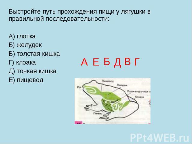 Выстройте путь прохождения пищи у лягушки в правильной последовательности: А) глотка Б) желудок В) толстая кишка Г) клоака Д) тонкая кишка Е) пищевод