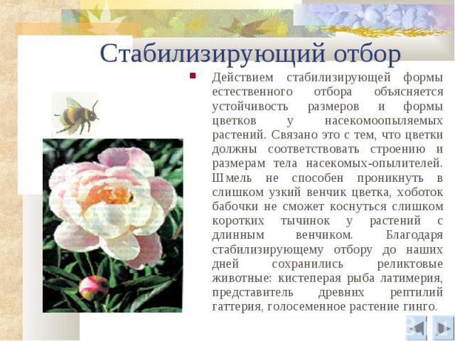 Стабилизирующий отбор Действием стабилизирующей формы естественного отбора объясняется устойчивость размеров и формы цветков у насекомоопыляемых растений. Связано это с тем, что цветки должны соответствовать строению и размерам тела насекомых-опылит…