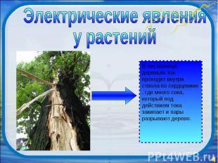 Электрические явления у растений В лиственных деревьях ток проходит внутри ствол