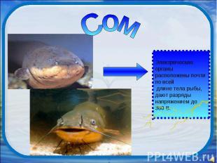 Сом Электрические органы расположены почти по всей длине тела рыбы, дают разряды