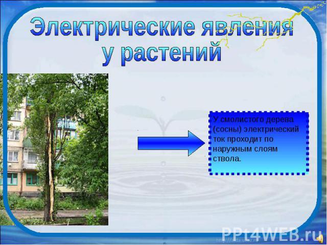 Электрические явления у растений У смолистого дерева (сосны) электрический ток проходит по наружным слоям ствола.