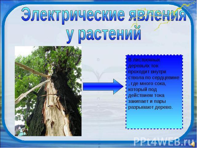 Электрические явления у растений В лиственных деревьях ток проходит внутри ствола по сердцевине , где много сока, который под действием тока закипает и пары разрывают дерево.