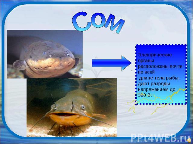 Сом Электрические органы расположены почти по всей длине тела рыбы, дают разряды напряжением до 360 В.