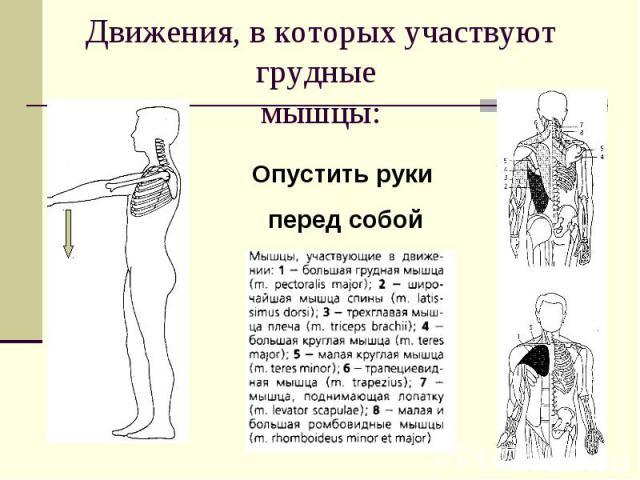 Движения, в которых участвуют грудные мышцы:Опустить руки перед собой