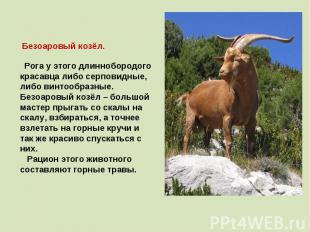 Безоаровый козёл. Рога у этого длиннобородого красавца либо серповидные, либо ви