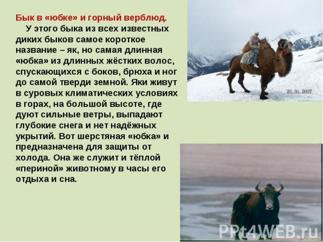 Бык в «юбке» и горный верблюд. У этого быка из всех известных диких быков самое короткое название – як, но самая длинная «юбка» из длинных жёстких волос, спускающихся с боков, брюха и ног до самой тверди земной. Яки живут в суровых климатических усл…