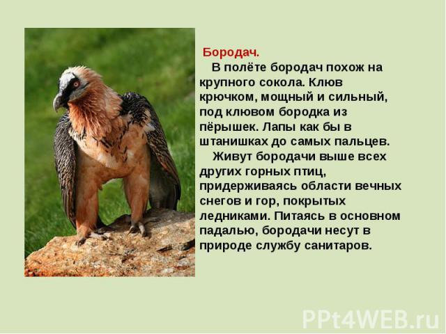 Бородач. В полёте бородач похож на крупного сокола. Клюв крючком, мощный и сильный, под клювом бородка из пёрышек. Лапы как бы в штанишках до самых пальцев. Живут бородачи выше всех других горных птиц, придерживаясь области вечных снегов и гор, покр…