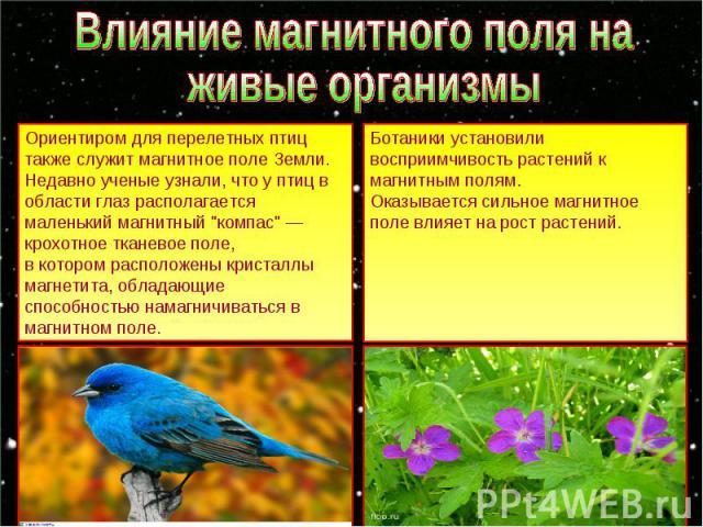 Влияние магнитного поля на живые организмы Ориентиром для перелетных птиц также служит магнитное поле Земли. Недавно ученые узнали, что у птиц в области глаз располагается маленький магнитный