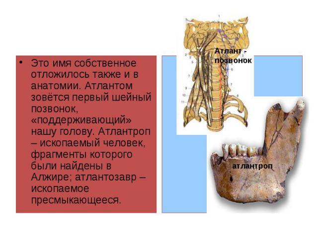 Это имя собственное отложилось также и в анатомии. Атлантом зовётся первый шейный позвонок, «поддерживающий» нашу голову. Атлантроп – ископаемый человек, фрагменты которого были найдены в Алжире; атлантозавр – ископаемое пресмыкающееся.