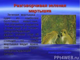 Разговорчивая зеленая мартышка Зеленая мартышка – одно из наиболее болтливых жив