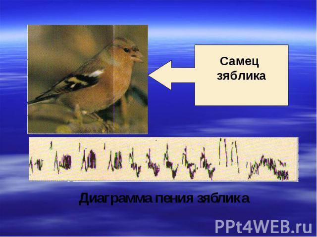 Самец зяблика Диаграмма пения зяблика