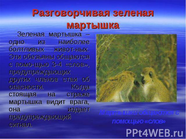 Разговорчивая зеленая мартышка Зеленая мартышка – одно из наиболее болтливых живот-ных. Эти обезьяны общаются с помо-щью 3-4 «слов», предупреждающих других членов стаи об опасности. Когда стоящая на страже мартышка видит врага, она издает предупрежд…