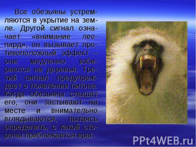 Все обезьяны устрем-ляются в укрытие на зем-ле. Другой сигнал озна-чает «внимание лео-пард», он вызывает про-тивоположный эффект – они медленно взби-раются на деревья. Тре-тий сигнал предупреж-дает о появлении питона. Когда обезьяны слышат его, они …