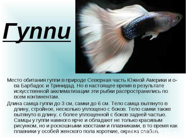 Гуппи Место обитания гуппи в природе Cеверная часть Южной Америки и о-ва Барбадос и Тринидад. Но в настоящее время в результате искусственной акклиматизации эти рыбки распространились по всем континентам. Длина самца гуппи до 3 см, самки до 6 см. Те…
