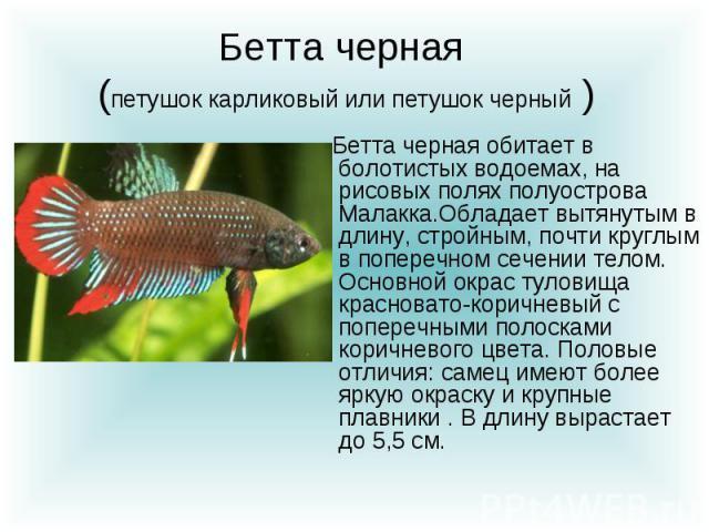 Бетта черная (петушок карликовый или петушок черный ) Бетта черная обитает в болотистых водоемах, на рисовых полях полуострова Малакка.Обладает вытянутым в длину, стройным, почти круглым в поперечном сечении телом. Основной окрас туловища красновато…