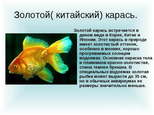 Золотой( китайский) карась. Золотой карась встречается в диком виде в Корее, Китае и Японии. Этот карась в природе имеет золотистый оттенок, особенно в мелких, хорошо прогреваемых солнцем водоемах. Основная окраска тела и плавников красно-золотистая…