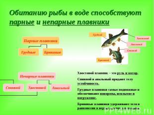 Обитанию рыбы в воде способствуют парные и непарные плавники Хвостовой плавник –