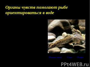 Органы чувств помогают рыбе ориентироваться в воде Ноздри располагаются на голов