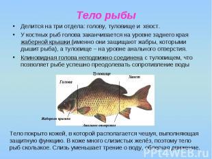Тело рыбы Делится на три отдела: голову, туловище и хвост. У костных рыб голова