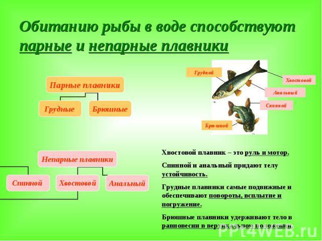 Обитанию рыбы в воде способствуют парные и непарные плавники Хвостовой плавник – это руль и мотор. Спинной и анальный придают телу устойчивость. Грудные плавники самые подвижные и обеспечивают повороты, всплытие и погружение. Брюшные плавники удержи…