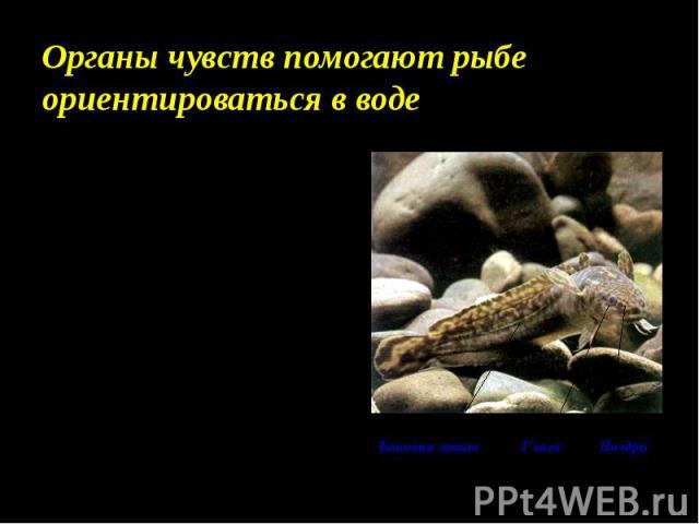 Органы чувств помогают рыбе ориентироваться в воде Ноздри располагаются на голове выше рта. Это отверстия в обонятельные капсулы – органы обоняния. Глаза видят предметы на близком расстоянии, но хорошо различают цвета. Органы зрения большие, с плоск…