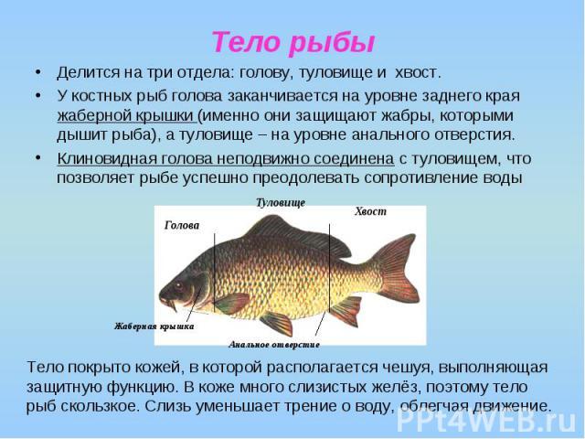 Тело рыбы Делится на три отдела: голову, туловище и хвост. У костных рыб голова заканчивается на уровне заднего края жаберной крышки (именно они защищают жабры, которыми дышит рыба), а туловище – на уровне анального отверстия. Клиновидная голова неп…