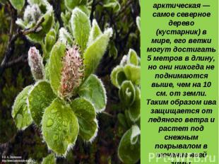 6 место: Ива арктическая — самое северное дерево (кустарник) в мире, его ветки м
