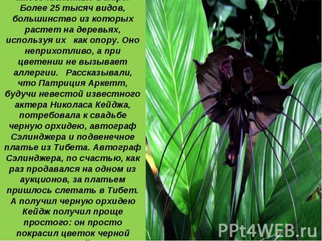 1 место: Орхидеи - самые многочисленные в мире. Более 25 тысяч видов, большинство из которых растет на деревьях, используя их как опору. Оно неприхотливо, а при цветении не вызывает аллергии. Рассказывали, что Патриция Аркетт, будучи невестой извест…