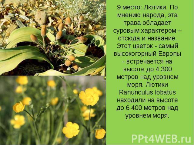 9 место: Лютики. По мнению народа, эта трава обладает суровым характером – отсюда и название. Этот цветок - самый высокогорный Европы - встречается на высоте до 4 300 метров над уровнем моря. Лютики Ranunculus lobatus находили на высоте до 6 400 мет…