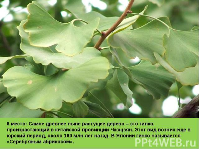 8 место: Самое древнее ныне растущее дерево – это гинко, произрастающий в китайской провинции Чжэцзян. Этот вид возник еще в юрский период, около 160 млн лет назад. В Японии гинко называется «Серебряным абрикосом».