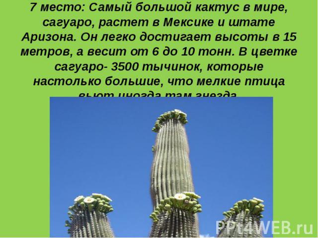 7 место: Самый большой кактус в мире, сагуаро, растет в Мексике и штате Аризона. Он легко достигает высоты в 15 метров, а весит от 6 до 10 тонн. В цветке сагуаро- 3500 тычинок, которые настолько большие, что мелкие птица вьют иногда там гнезда.