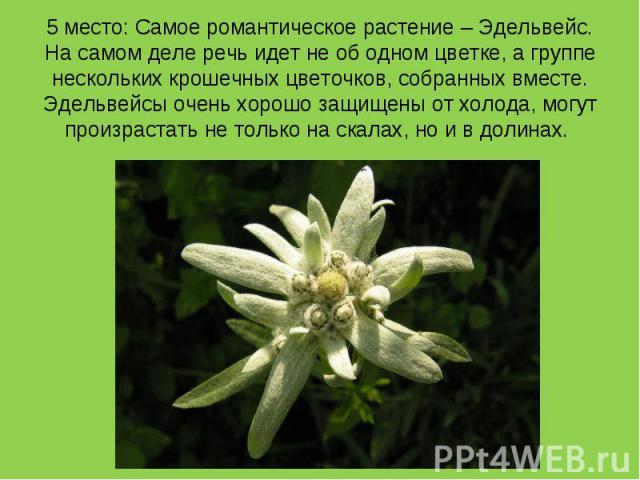 5 место: Самое романтическое растение – Эдельвейс. На самом деле речь идет не об одном цветке, а группе нескольких крошечных цветочков, собранных вместе. Эдельвейсы очень хорошо защищены от холода, могут произрастать не только на скалах, но и в долинах.