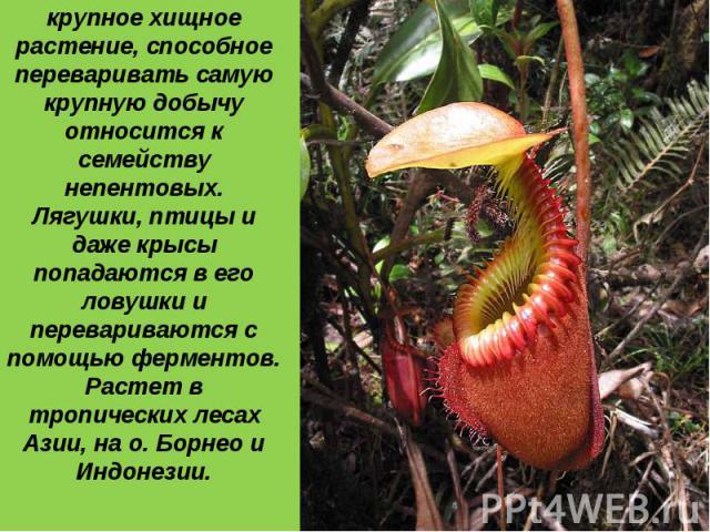 4 место: Самое крупное хищное растение, способное переваривать самую крупную добычу относится к семейству непентовых. Лягушки, птицы и даже крысы попадаются в его ловушки и перевариваются с помощью ферментов. Растет в тропических лесах Азии, на о. Б…