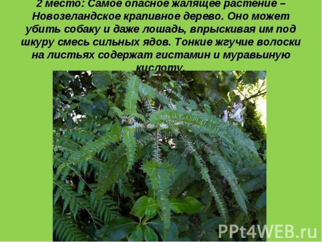 2 место: Самое опасное жалящее растение – Новозеландское крапивное дерево. Оно может убить собаку и даже лошадь, впрыскивая им под шкуру смесь сильных ядов. Тонкие жгучие волоски на листьях содержат гистамин и муравьиную кислоту.