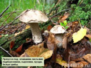 Прячутся под опавшими листьями подберезовики, сыроежки, грузди, белые грибы.