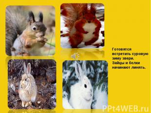 Готовятся встретить суровую зиму звери. Зайцы и белки начинают линять.