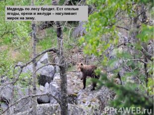 Медведь по лесу бродит. Ест спелые ягоды, орехи и желуди – нагуливает жирок на з