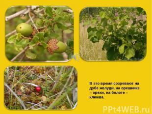 В это время созревают на дубе желуди, на орешнике – орехи, на болоте – клюква.