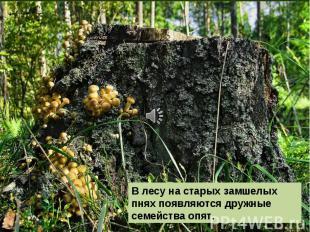 В лесу на старых замшелых пнях появляются дружные семейства опят.